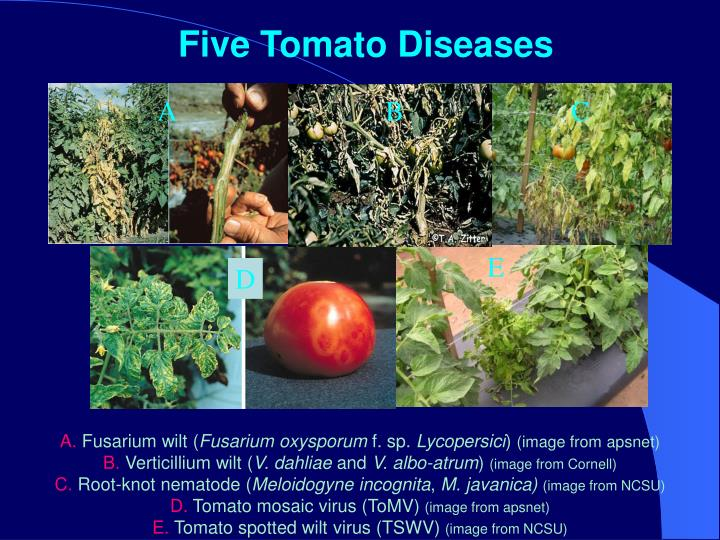 Five Tomato Diseases
