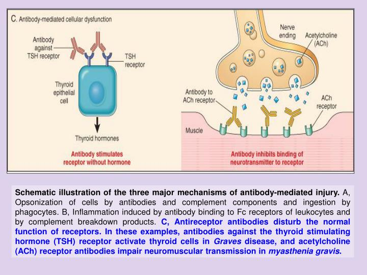Schematic illustration of the three major mechanisms of antibody-mediated injury.