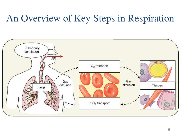 An Overview of Key Steps in Respiration