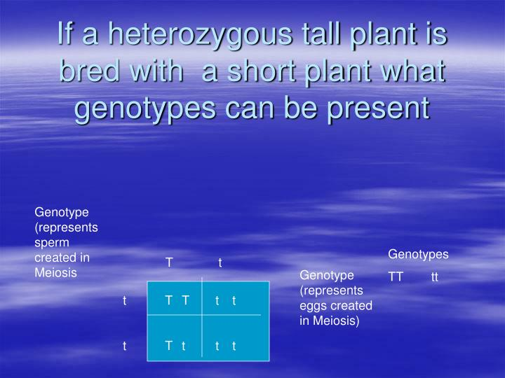 If a heterozygous tall plant is bred with  a short plant what genotypes can be present