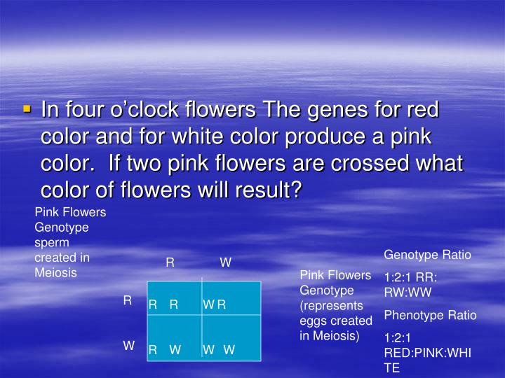 In four o'clock flowers The genes for red color and for white color produce a pink color.  If two pink flowers are crossed what color of flowers will result?