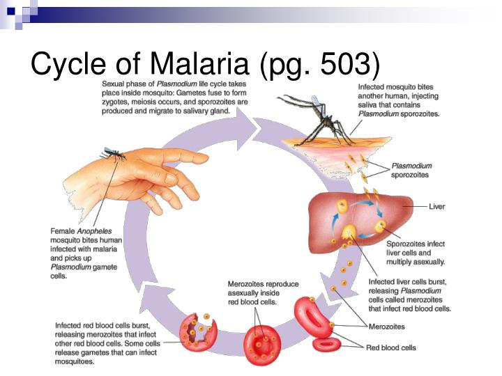 Cycle of Malaria (pg. 503)