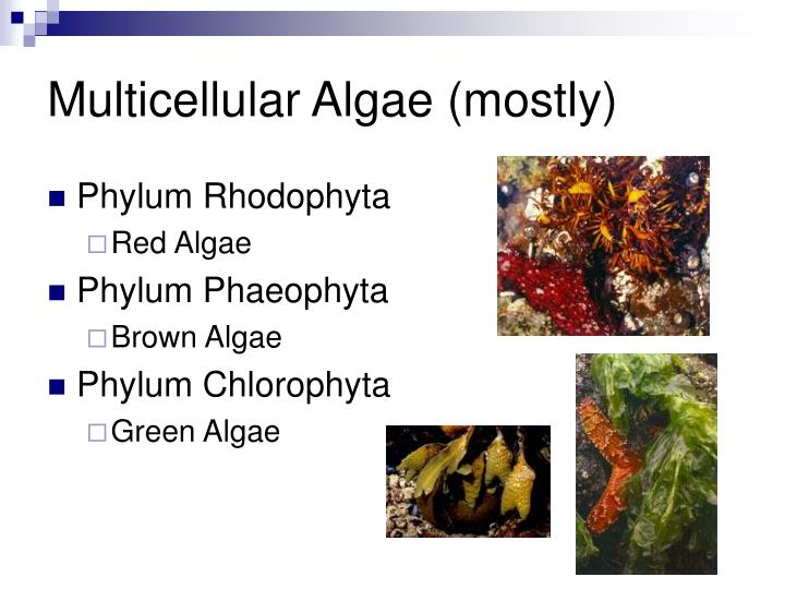 Multicellular Algae (mostly)