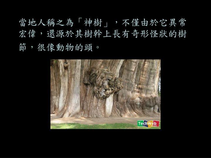 當地人稱之為「神樹」,不僅由於它異常宏偉,還源於其樹幹上長有奇形怪狀的樹節,很像動物的頭。