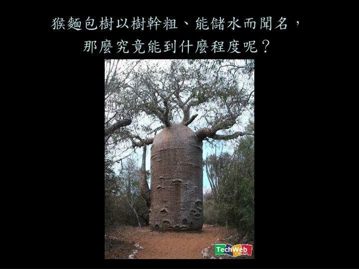 猴麵包樹以樹幹粗、能儲水而聞名,