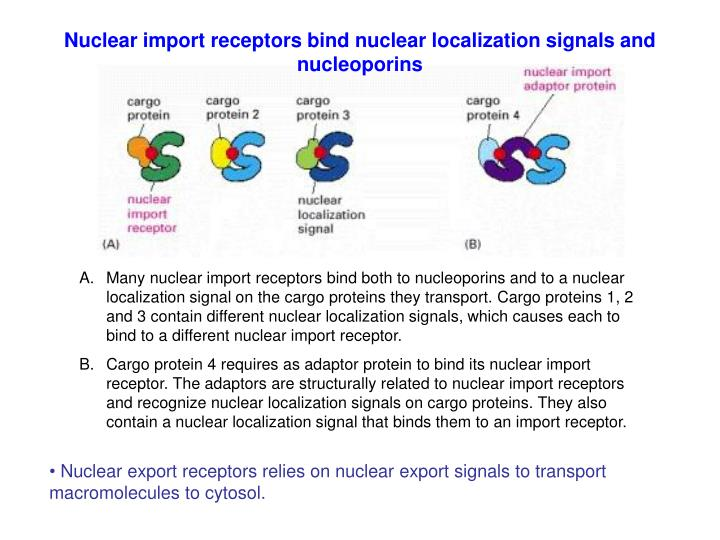 Nuclear import receptors bind nuclear localization signals and nucleoporins