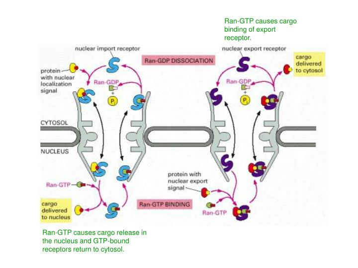 Ran-GTP causes cargo binding of export receptor.