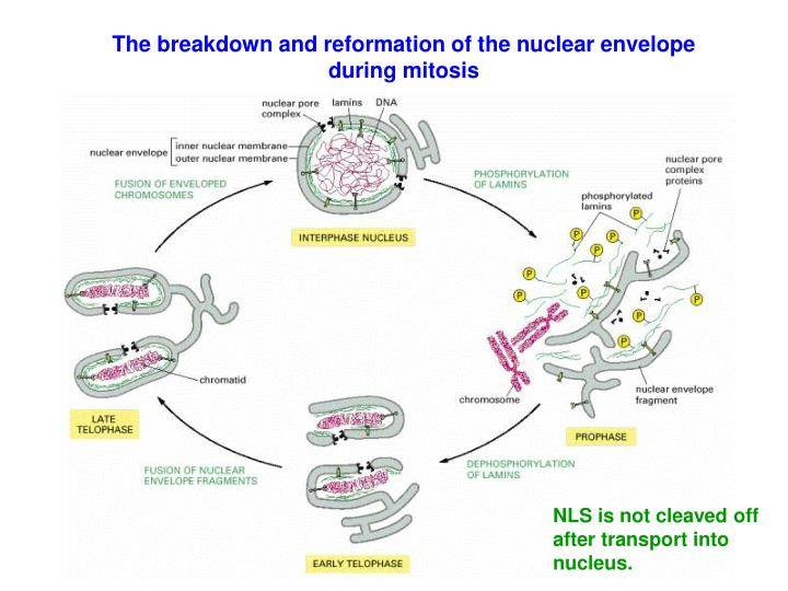 The breakdown and reformation of the nuclear envelope during mitosis