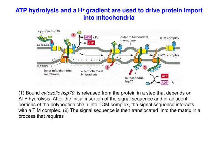 ATP hydrolysis and a H