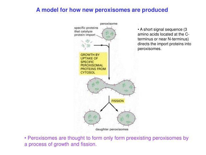 A model for how new peroxisomes are produced