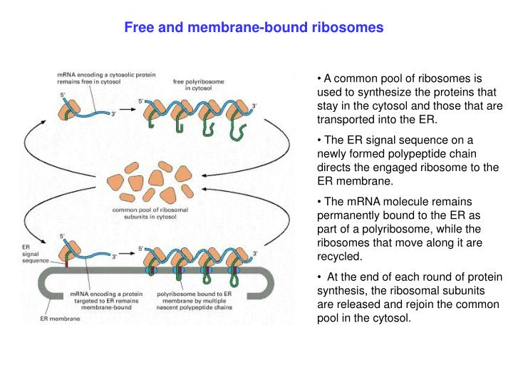 Free and membrane-bound ribosomes