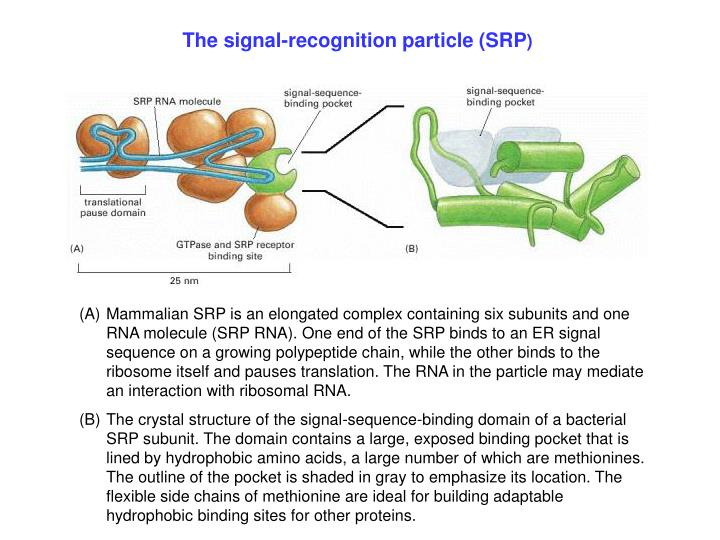 The signal-recognition particle (SRP