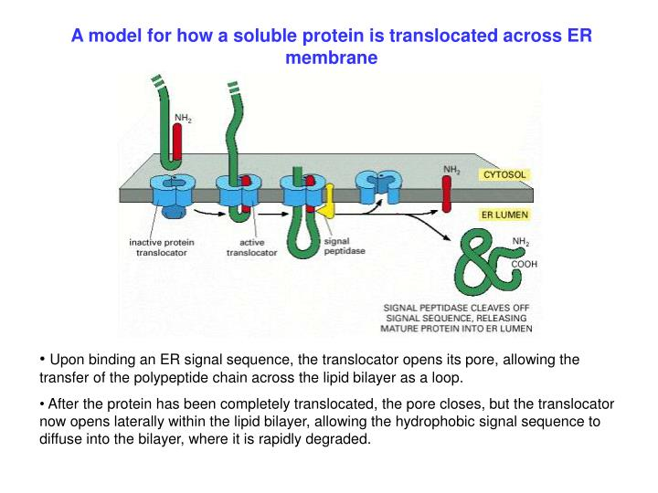 A model for how a soluble protein is translocated across ER membrane