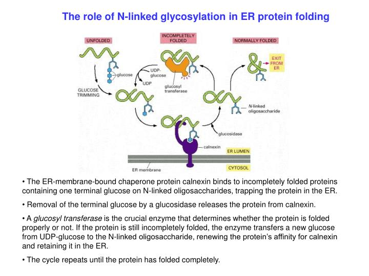 The role of N-linked glycosylation in ER protein folding