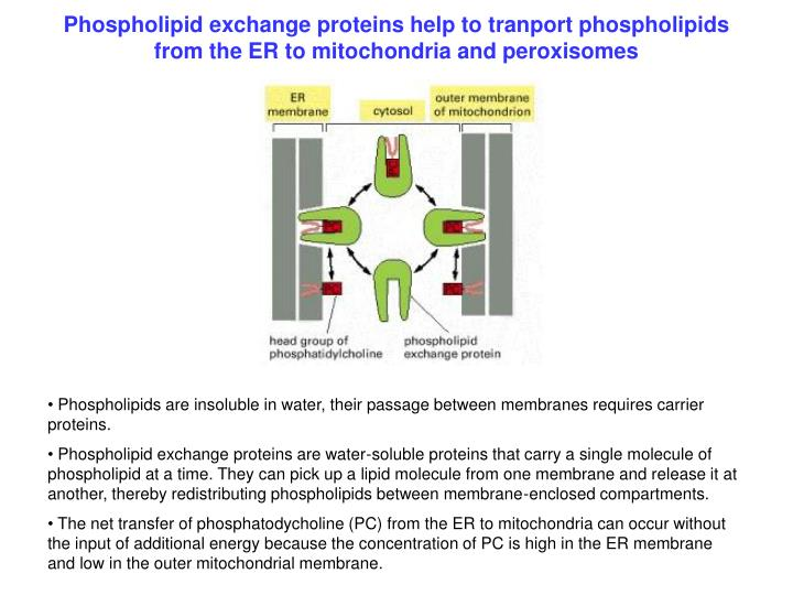 Phospholipid exchange proteins help to tranport phospholipids from the ER to mitochondria and peroxisomes