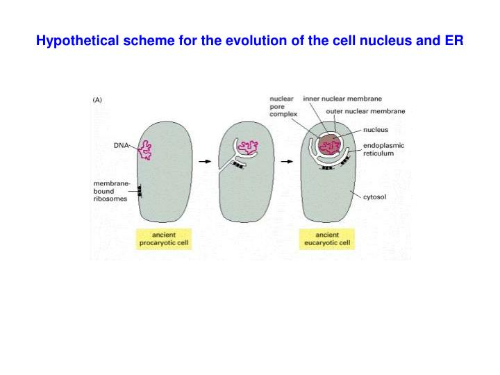Hypothetical scheme for the evolution of the cell nucleus and ER