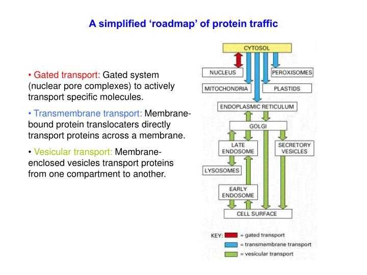 A simplified 'roadmap' of protein traffic