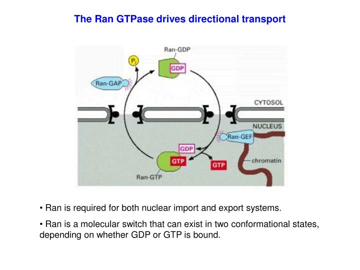 The Ran GTPase drives directional transport