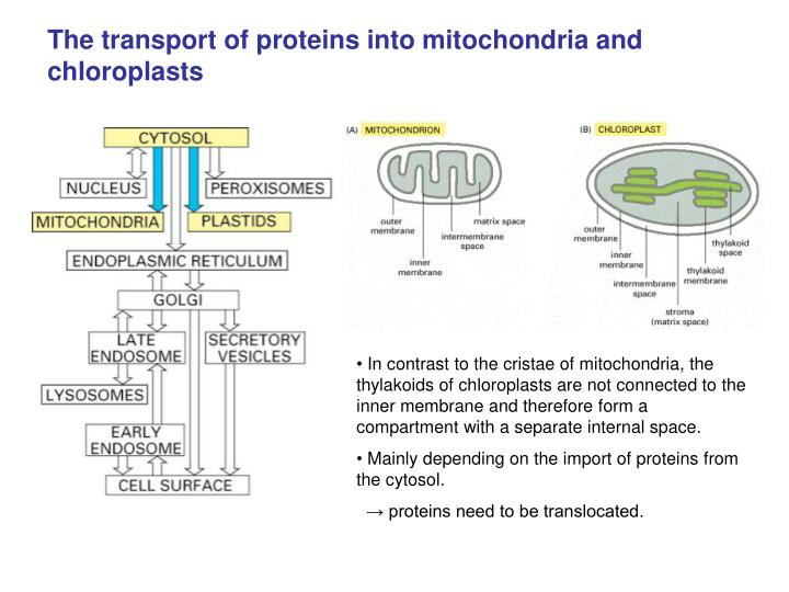 The transport of proteins into mitochondria and chloroplasts