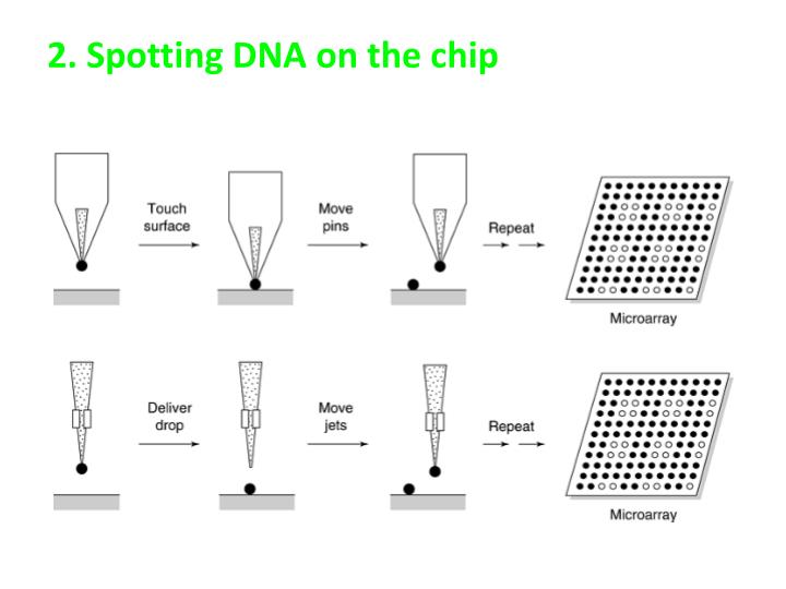 2 spotting dna on the chip