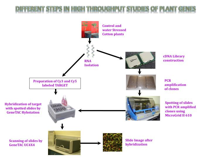 DIFFERENT STEPS IN HIGH THROUGHPUT STUDIES OF PLANT GENES