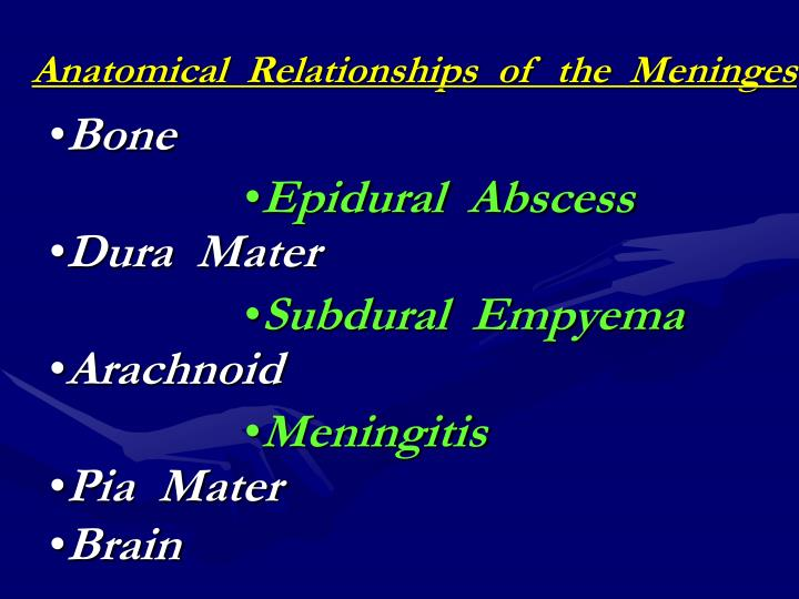 Anatomical  Relationships  of  the  Meninges