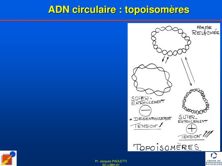 ADN circulaire : topoisomères