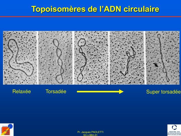 Topoisomères de l'ADN circulaire