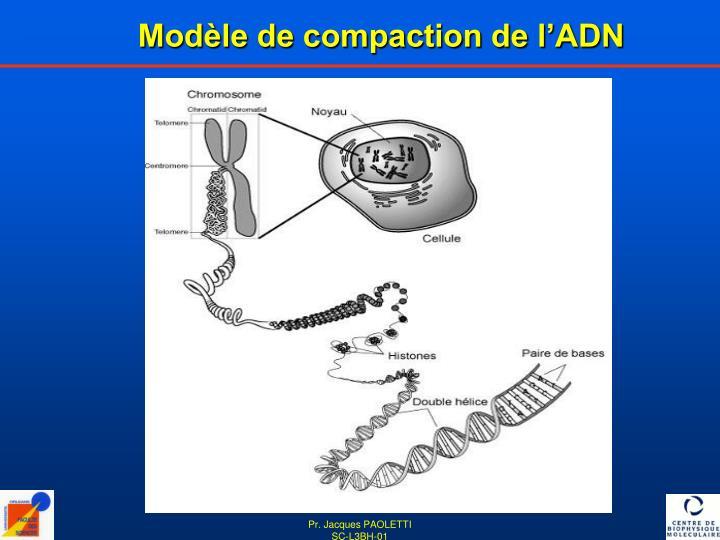 Modèle de compaction de l'ADN