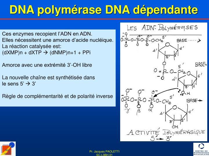 DNA polymérase DNA dépendante