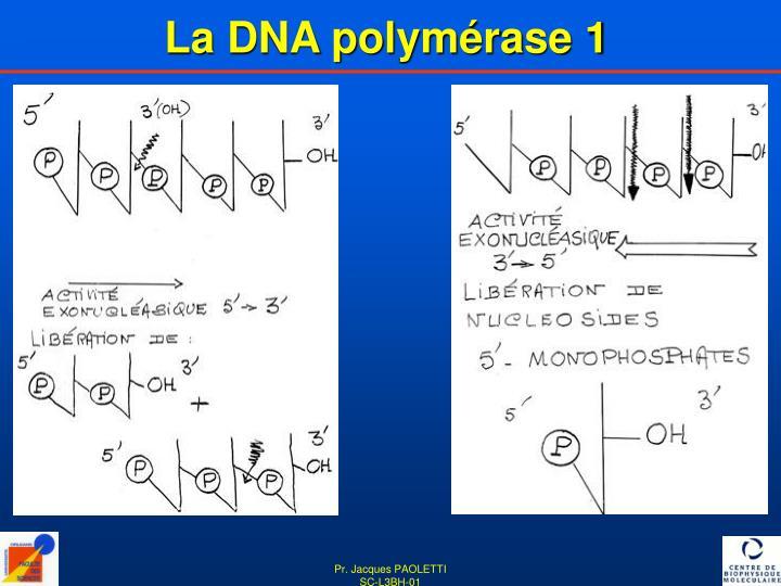La DNA polymérase 1