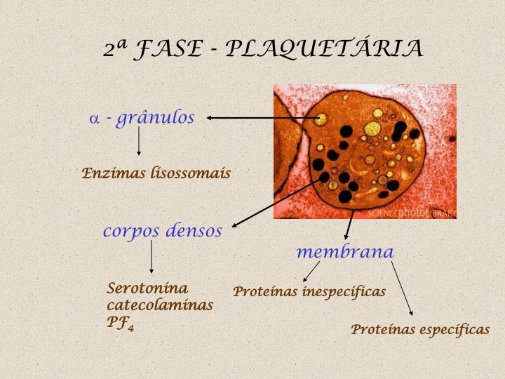 2ª FASE - PLAQUETÁRIA