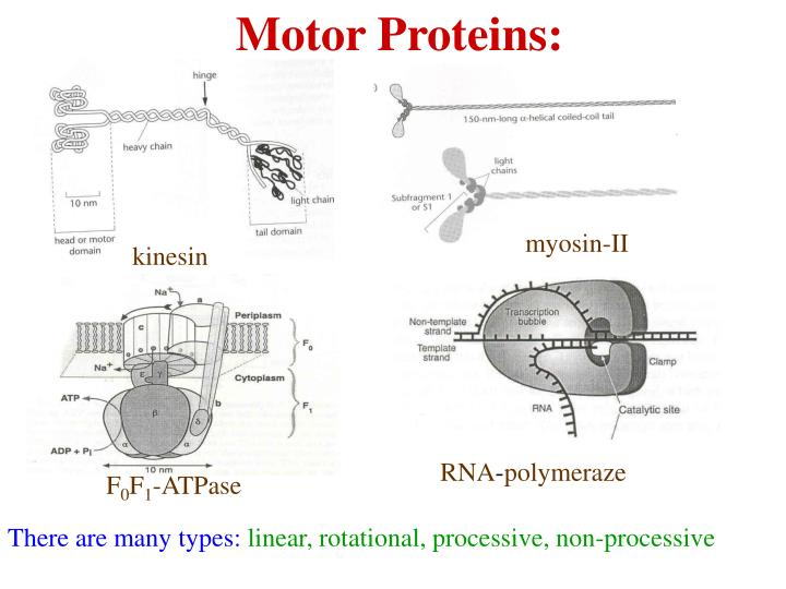 Motor Proteins: