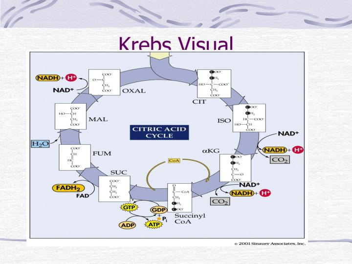 Krebs Visual