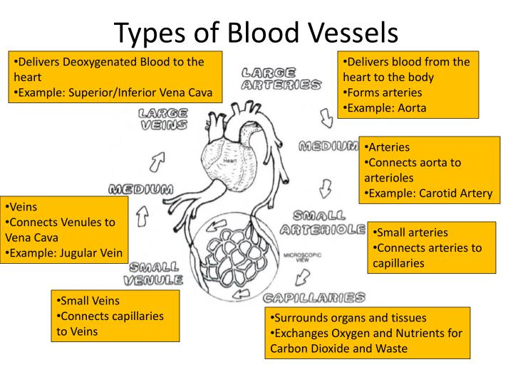 Types of Blood Vessels