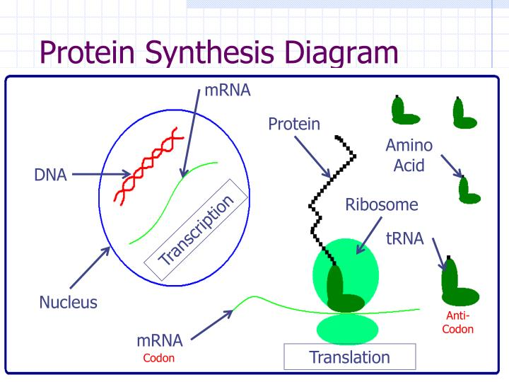 Protein Synthesis Diagram