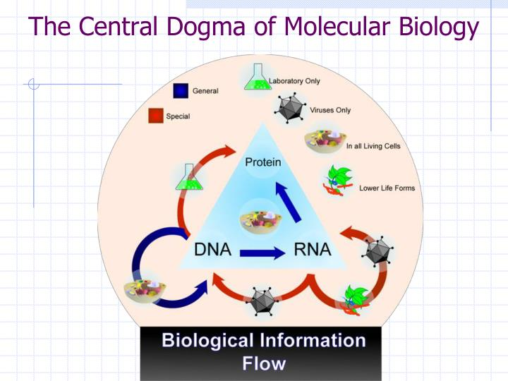 central dogma of molecular biology The central dogma of molecular biology is an explanation of the flow of genetic  information within a biological system it is often stated as dna makes rna and .