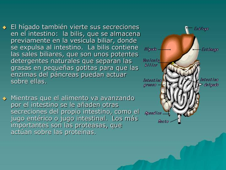 El hígado también vierte sus secreciones en el intestino:  la bilis, que se almacena previamente en la vesícula biliar, donde se expulsa al intestino.  La bilis contiene las sales biliares, que son unos potentes detergentes naturales que separan las grasas en pequeñas gotitas para que las enzimas del páncreas puedan actuar sobre ellas.
