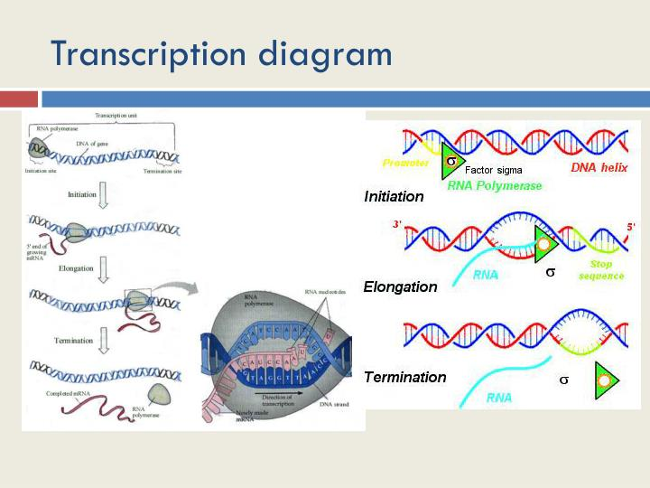 Transcription diagram