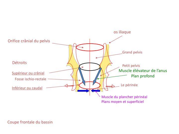 os iliaque