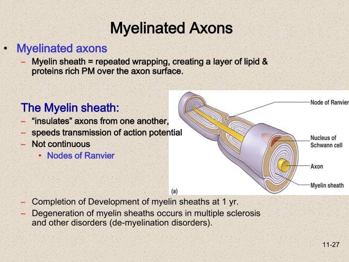 Myelinated axons