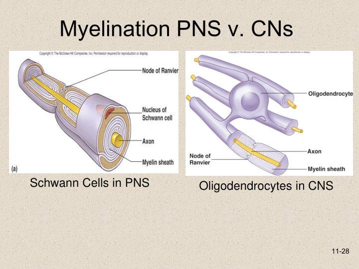 Myelination PNS v. CNs