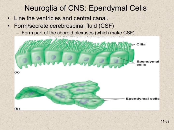 Neuroglia of CNS: Ependymal Cells