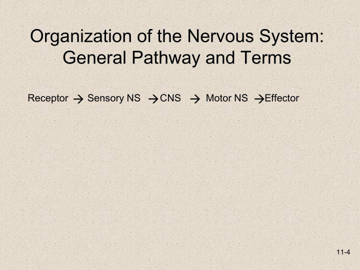 Organization of the Nervous System: