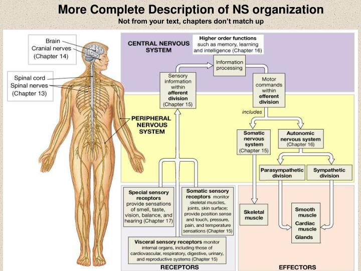 More Complete Description of NS organization