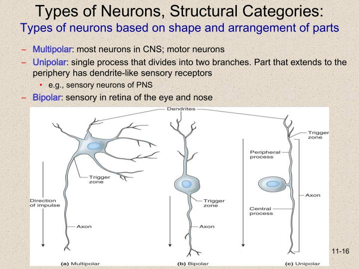 Types of Neurons, Structural Categories: