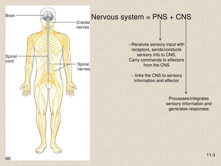 Nervous system = PNS + CNS
