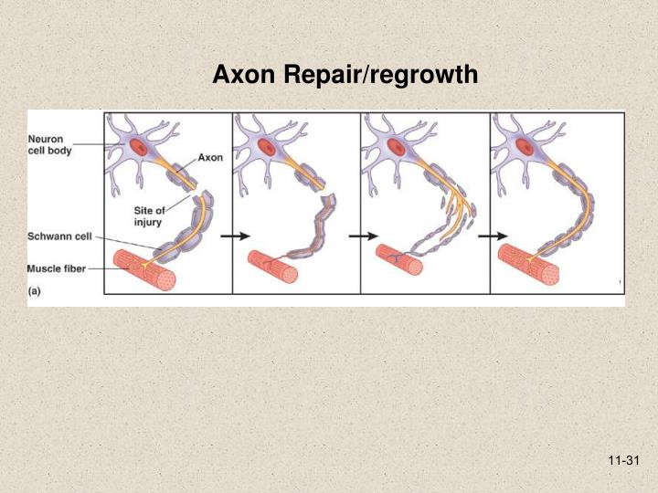 Axon Repair/regrowth