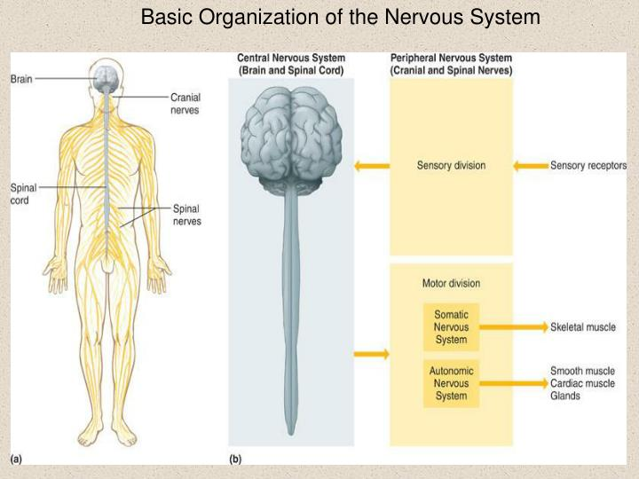 Basic Organization of the Nervous System