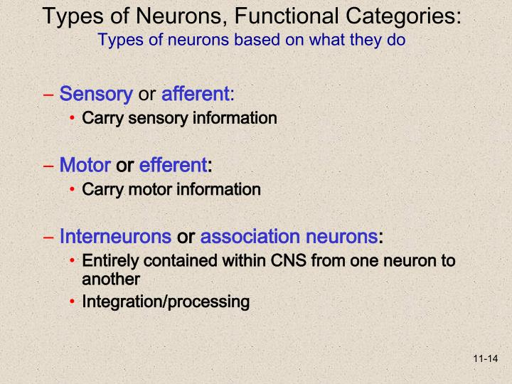 Types of Neurons, Functional Categories: